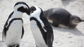 First Look at New 'Immersive' African Penguin Exhibit at Lincoln Park Zoo