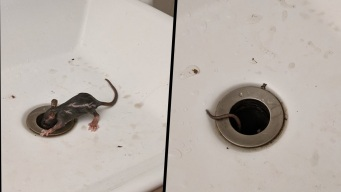 'Zombie' Rat Climbs Out of NYC Bathroom Sink