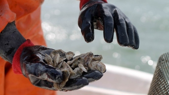 Oyster Farmers in Maine Sound Alarm Over Climate Change
