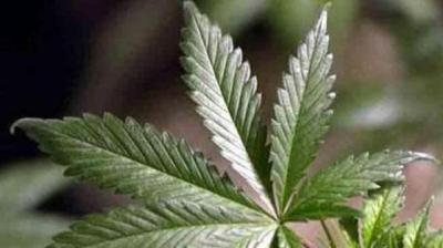 Quigley, Schakowsky Want New Look at Pot Policy