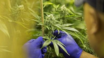 Powerful Alderman Pushes for Medical Marijuana in Loop