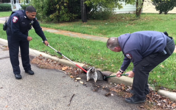 Call For Assistance: Raccoon Stuck In Sewer Gate After Overeating