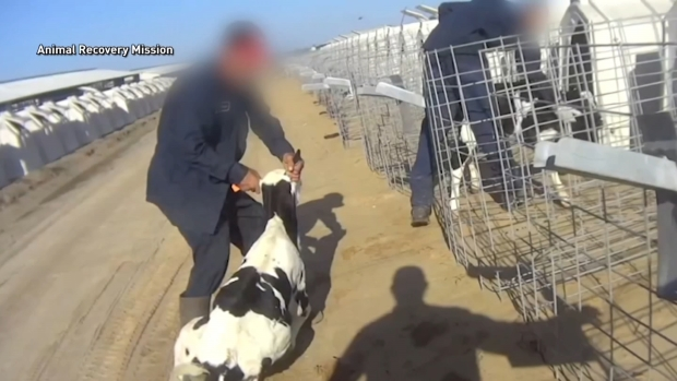 [CHI] New Footage Released Showing Fair Oaks Farms Abuse