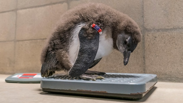 Adorable Zoo Babies: Penguin Chicks Hatch at San Diego Zoo