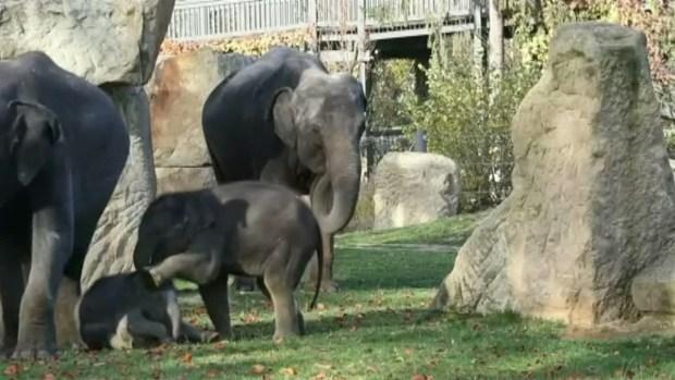 [NATL-DFW] Cute Alert! Baby Elephants Playfully Romp At Zoo