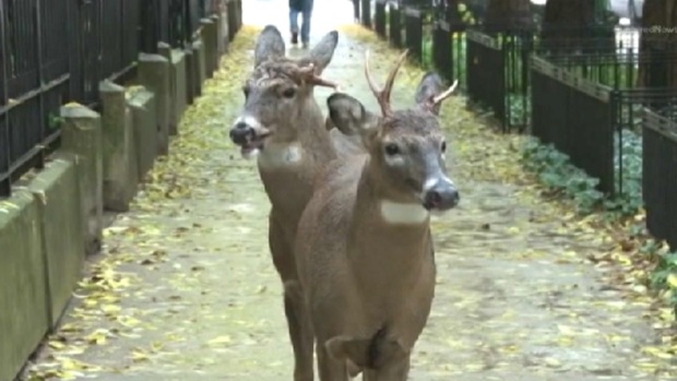[CHI] Gold Coast Deer Surprise Halloween Trick or Treaters