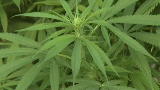 [NATL]    Marijuana specialty