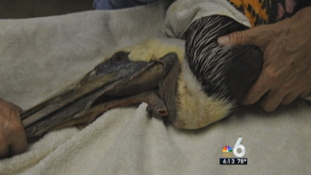 [MI] Pelicans Found With Pouches Slashed in Florida Keys