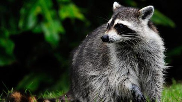 Police Warn on Reports of 'Zombie' Raccoons
