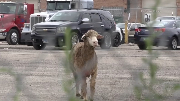 Call for Baa-ck Up: Sheep on the Loose Captured in Chicago