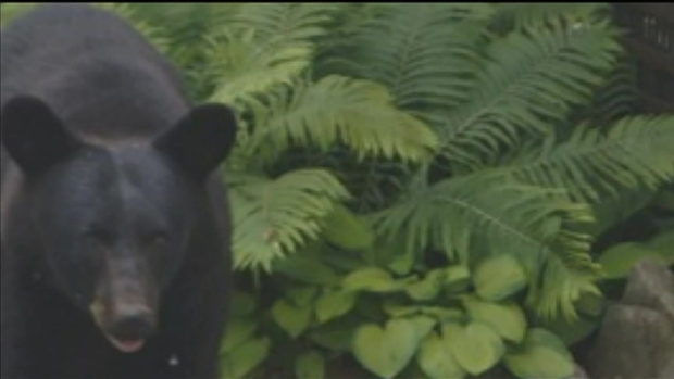 [CHI] Bear Spotted in Genoa and Sycamore