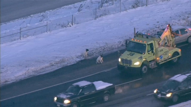 [CHI] Dogs Rescued From Side of Freeway