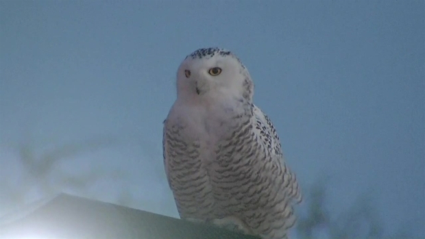 Snowy Owl Spotted Along Lake Shore Drive in Chicago