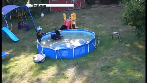 Watch Mama Bear 5 Cubs Play In New Jersey Pool Nbc Chicago