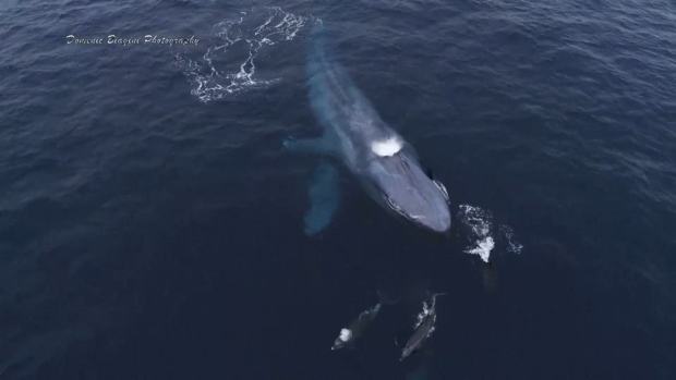 [NATL] Dolphins Captured Playing With Blue Whales Off Calif. Coast