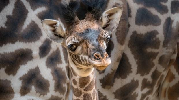 Adorable Zoo Babies: Masai Giraffe Born at LA Zoo