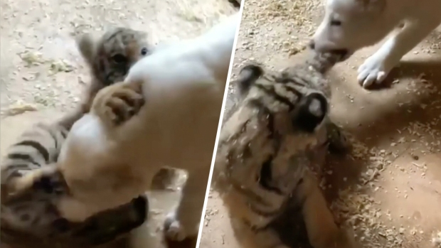 [NATL] Adorable Zoo Babies: Tiger Cub and Puppy Strikes Rare Friendship
