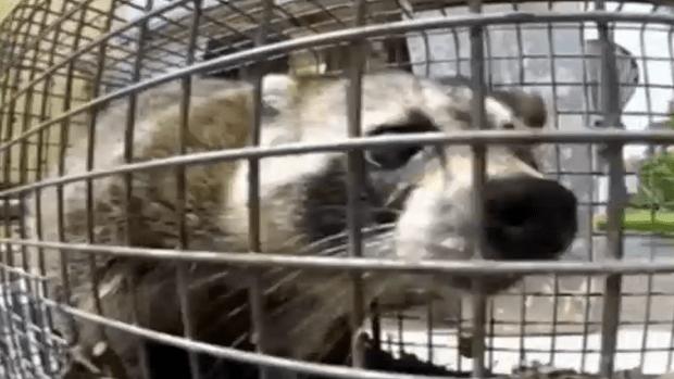 Authorities Warn Against Zombie Raccoons in Suburban Stickney