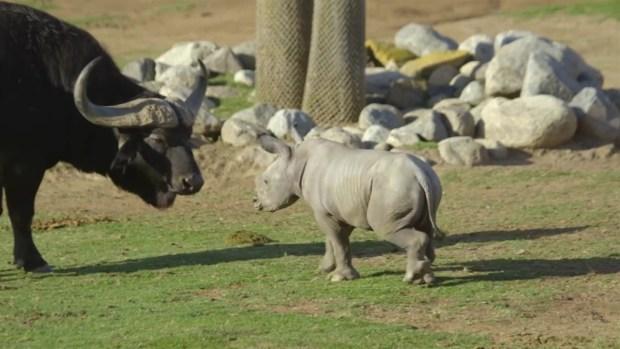 [NATL-DGO] Meet Justin, The Newest Rhino at The Safari Park