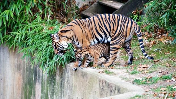 PHOTOS: National Zoo's Sumatran Tiger Cubs Pounce, Play Outdoors in Public Debut