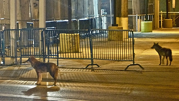 [CHI] Photographer Describes Wrigleyville Coyotes