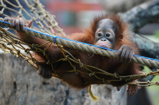[CHI] Baby Orangutan Makes Debut at Brookfield Zoo