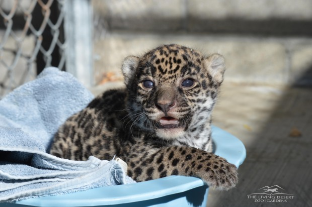Adorable Zoo Babies: Baby Jaguar