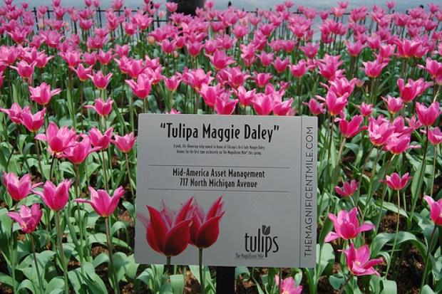 Tulipa Maggie Daley