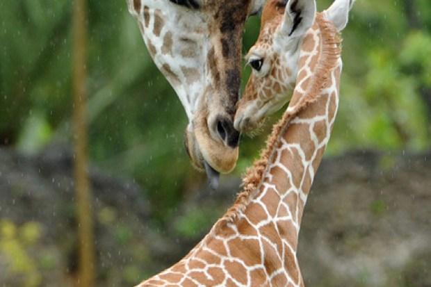 Baby Giraffes Enjoy Spring Weather At Brookfield Zoo