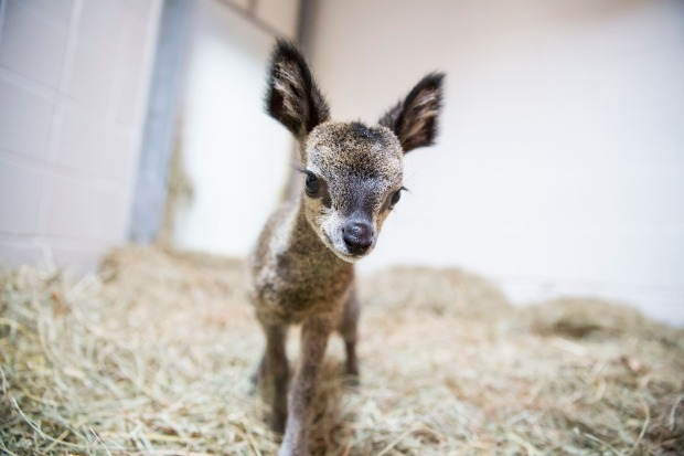 Baby Klipspringer Born at Lincoln Park Zoo