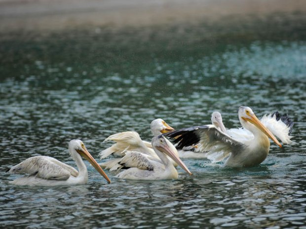 Rescued Gulf Pelicans Find Home in Chicago