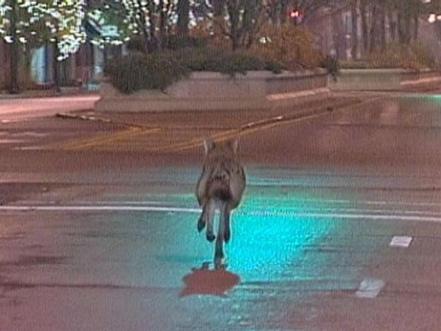 [CHI] What to Do If You Come Across a Coyote in the City