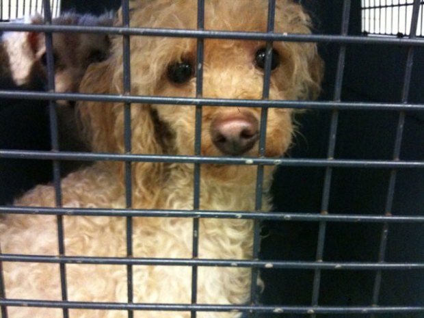 Designer Dogs Rescued from Tenn. Puppy Mill
