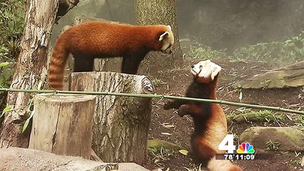 Rusty the Red Panda Returns to Exhibit After Daring Escape