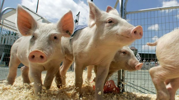 [DC] Swine Flu Concerns at the County Fair