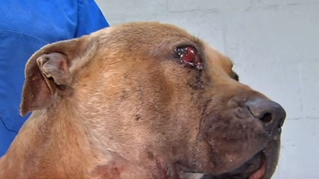 [CHI] Dogs Rescued from Dolton Dog Fight