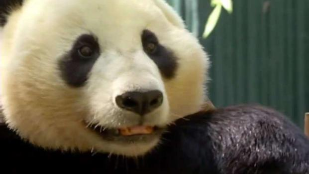 How Will a Panda-less Zoo Impact Business?