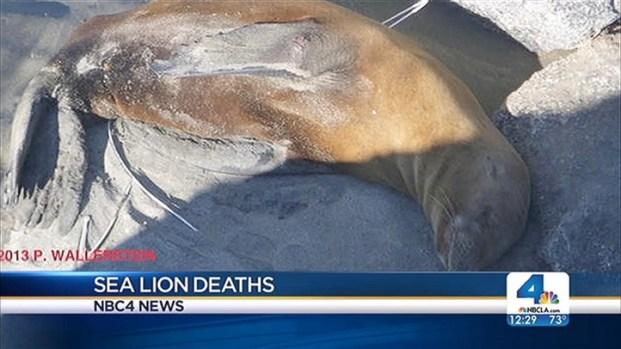 [LA] Sea Lions Fatally Shot in Malibu