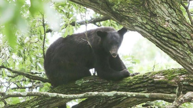 Illinois Bear Sightings