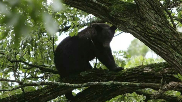 [CHI] Bear Climbs Tree in Ogle County