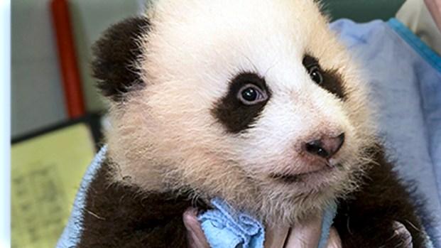 Panda Cub Naming Ceremony
