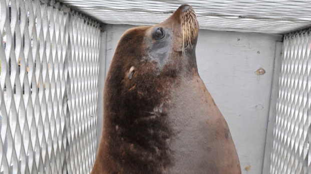 Sea Lion Hitches Ride with Coast Guard