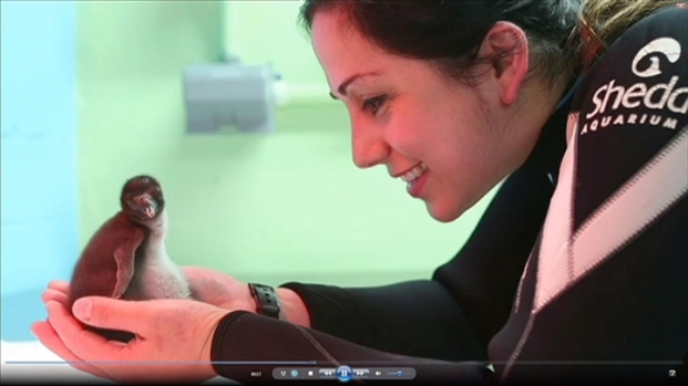 [CHI] Penguin Chick Born at Shedd Aquarium