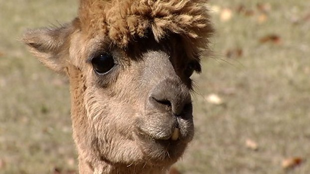 [CHI] Alpaca Farm Owner Fears Coyote Attack