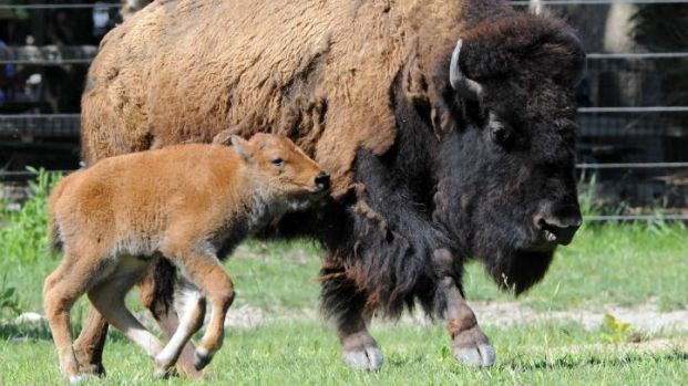 Brookfield Zoo's Baby Bison