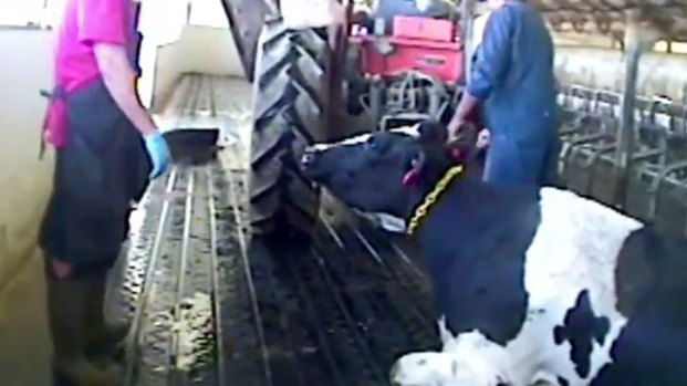 [LA] Animal Rights Group Urges In-N-Out to Sever Ties With Iowa Dairy Shown in Animal Abuse Video