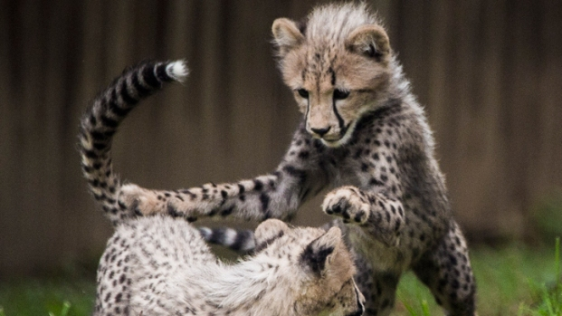 Cheetah Cubs Unveiled at National Zoo