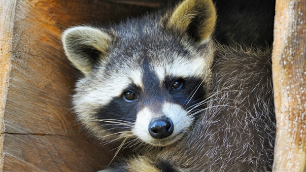 [NATL-V-MI] Firefighter Rescues Raccoon With Metal Soup Can Stuck on His Head