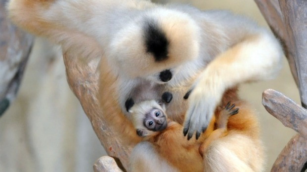 Infant White-Cheeked Gibbon