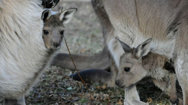 Kangaroo Joeys Emerge At Brookfield Zoo